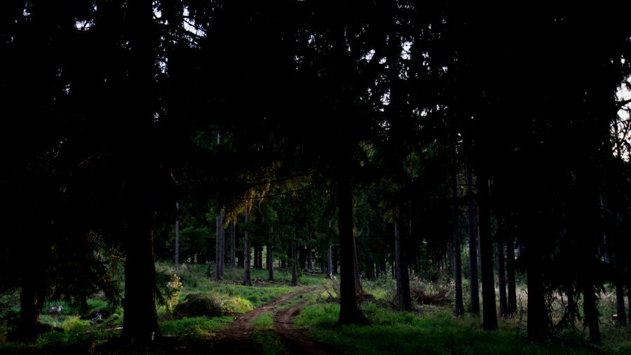 Pine forest for shooting in Hungary